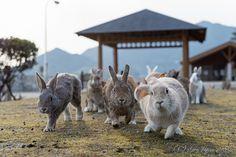 大久野島 ウサギ / Hiroshima bunnies :D Rabbit Island, Bunny Room, Jack Rabbit, Cute Bunny, Old Friends, Hare, Kangaroo, Goats, Cute Animals