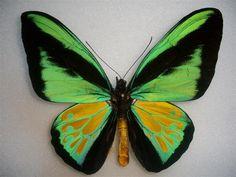 ornithoptera goliath procus form jeromiae male habitat: Ceram Is., Indonesia
