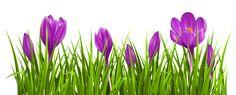 Transparent Crocus Grass PNG Clipart Picture
