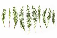 yarrow leaves  (mary jo hoffman)