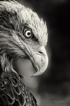 ♂ Amazing nature wild life photography animals bird black and white power eagle