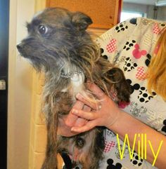 My name is Willy. I am a very cute male Terrier/Chihuahua, Long Coat, black and grey and only one year old. If you like small dogs please take home with you.  I can't wait to get out of here, they treat me very well however there is no place like home.