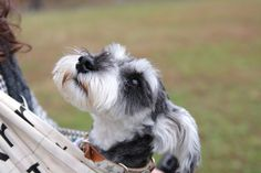 Awww! Another wonderful Schnauzer face, absolutely darling