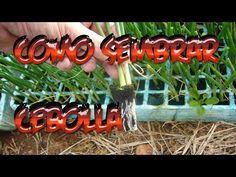 Como sembrar Cebolla