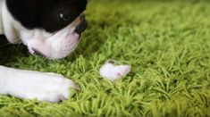 Cute  This Boston Terrier is Treating a Mouse like it's his Baby! Watch ► http://www.bterrier.com/?p=16495