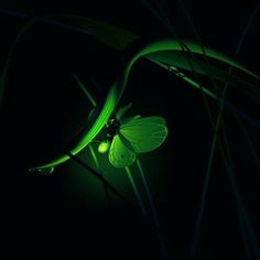 Stream Firefly by Iain Donnachie from desktop or your mobile device Veronica, Firefly Images, Fairy Art, Neon Green, Plant Leaves, Cute Animals, Wildlife, Creatures, Fireflies