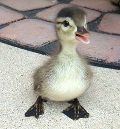Be Sad, Look At These Baby Ducks This is the best thing ever. Pictures of baby ducks to cure your depressionThis is the best thing ever. Pictures of baby ducks to cure your depression Fluffy Animals, Cute Baby Animals, Animal Babies, Happy Animals, Baby Wild Animals, Animals Dog, Funny Animal Pictures, Cute Pictures, Animal Pics