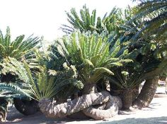 Cycads in the Modjadji Cycad Forest Limpopo South Africa These very ancient plants are endangered and protected. You have to have a license to own one.