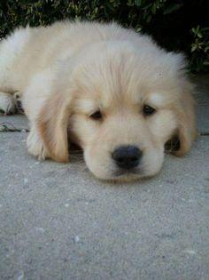 Golden Retrievers.  Best Dogs Ever!  Millie!