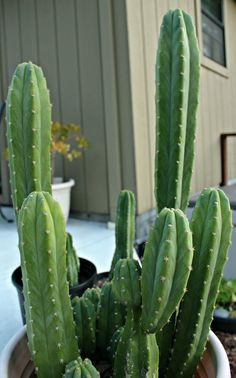 Trichocereus Pachanoi San Pedro Cactus Baby by MagicalCacti