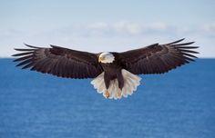 Bald Eagle in Flight 662 Fine Art Digital by DaleODellPhotography, $30.00