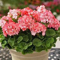 Divas Petticoat Geranium - Annual Flower Seeds
