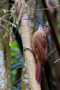 T¸ot¸o (Arapaçu-de-bico-torto, Campylorhamphus falcularius) (foto Marcos Eugênio)