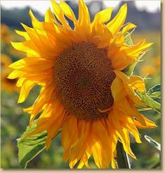 Sunflowers make a great addition to the vegetable garden.  They are fun to grow, they add dimension and they brighten your day.  The seeds are fun to eat and the stalks make a great trellis for your pole beans.    Plant the mammoth variety which grows 10+ feet tall.