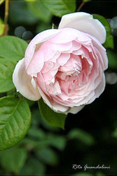 My roses...David Austin roses