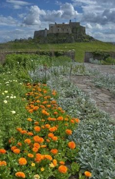 Marigolds in the walled garden at Lindisfarne Castle on Holy Island, Northumberland, England
