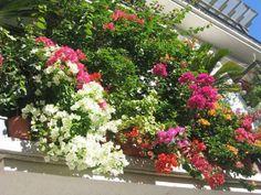 Murvafürt, azaz a Bougainvillea (bugi) gondozása » Balkonada Bougainvillea, Plants, Balcony, Plant, Planets