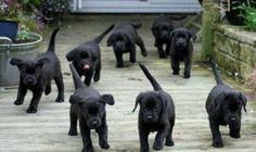 Zwarte labrador pups