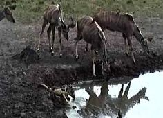 Kudu females with oxpeckers (birds on their backs) and a nervous jackal getting a drink at Nkorho on Africam.com