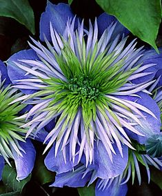 Clematis 'Crystal Fountain' | Trees and Shrubs from Bakker Spalding Garden Company This. #Periwinkle And Chartreuse