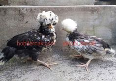 Ayam Polan Umur 3 Bulan Persiapan Kirim Ke Depok #ayamjambul #hargaayam Polan #ayam mahkota #ayam Polan Dewasa #kandangayam Polan http://ift.tt/2qBTTqd