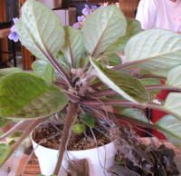 What happens when you've really neglected your violet?  You might have a plant that appears something like the one shown at left.  This plant (aSaintpaulia species) has been left virtually ignored, other than occasional watering, on the corner of a light stand, pressed up against a wall. For more than six months, it hasn't been turned or had any leaves