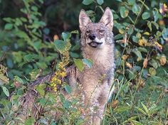 Naturalist and Nature's Way columnist Michael Runtz leads groups on public wolf howls. Algonquin Park, Wolf Howling, Columnist, Canoeing, Countries Of The World, Wolves, Kangaroo, Places To Visit, Success