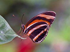actias luna butterfly | Colorful