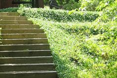 plants to landscape shade slope to prevent erosion | great plant for erosion control.