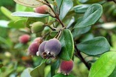 Cây Sim - Rhodomyrtus tomentosa