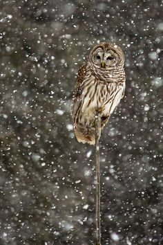 I actually seen an owl yesterday. I'm not sure what kind it was or anything just that it was an owl. I SHOULD'VE TAKEN A PICTURE!