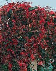 Frø – Klatreplanter – Side 2 – Bjarne's frø og planter