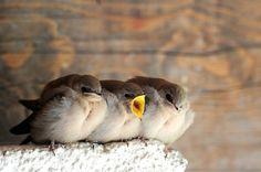 birdcagewalk:  petitpoulailler:yskz:Baby Swallows http://ift.tt/1twOV7R