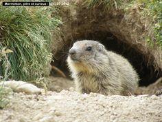 FAUNE DES ALPES DU SUD - Marmottes et Marmottons Quoi de plus beau que les jeux des Marmottons insouciants; cabriolant sans fin ... --------------- La Marmotte -------------- Les marmottes ( Marmota ) appartienent à un genre de mammifère fouisseur de...