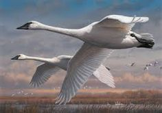 2016-'17 Duck Stamp will feature Trumpeter Swans - Wisconsin Society for Ornithology