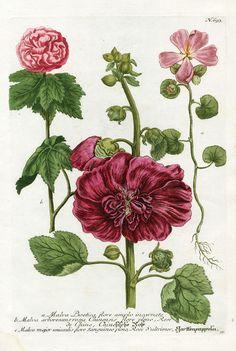 Johann Weinmann Botanical Prints 1737 - Malva boetica, Malva arborescens et Malva major