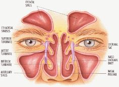 What Do Sinuses Do? One of the sinuses' most important jobs is to lighten your skull so you can hold up your head and keep it balanced on yo...