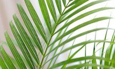 Toda la información y los cuidados de la areca (Chrysalidocarpus Lutescens), también conocida como palmera amarilla.