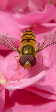 Drone fly (also known as a hover fly) - a honeybee mimic.