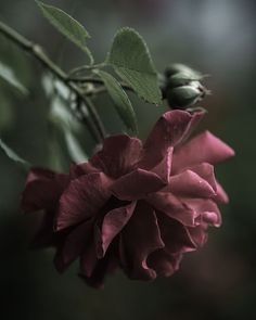 Raindrops and Roses Wonderful Flowers, Beautiful Roses, Beautiful Flowers, Belle Image Nature, Nature Verte, Raindrops And Roses, Weird Plants, Image Hd, Picture Places
