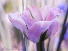 Leinwandbild Tulpe in Pastell