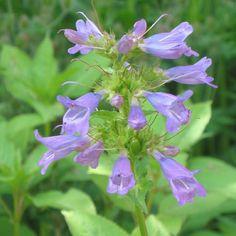 Penstemon serrulatus   En rigtig fin staude med blomster som elegante hængende klokker. Rørblomsten findes i utallige favemix. Disse frø giver overvægt af planter med blå-hvide blomster, men der kan også komme planter med rødlige blomster – eller et andet mix af farver. Trives både i sol og halvskygge, planten tåler ikke at stå for vådt, så placer den i en veldrænet jord. 50-70 cm høj. Blomster juni-oktober. Kan sås hele året - også i den kolde periode.