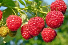 Grădinărit Archives - Page 3 of 13 - Fasingur Fruit Plants, Fruit Trees, Trees To Plant, Raspberry Plants, Growing Raspberries, Cold Brew Coffee Maker, Ornamental Plants, Permaculture, Fruits And Vegetables