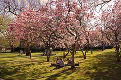 Magnolia soulangeana. Nel suo fiore variegato, il bianco e il rosa si mescolano per creare un effetto cromatico davvero particolare.  #pianteinsolite