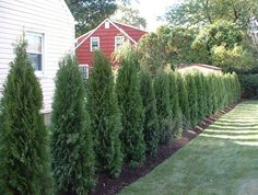 A hedge of Thuja has been planted between these homes instead of a fence in order to provide a more natural form of privacy. Sometimes shrubs make for a more desirable and friendly fence when attempting to establish privacy in an older neighborhood.