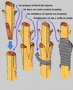 injerto pua 244x300 Injertos para árboles: de púa y de yema plantas arboles