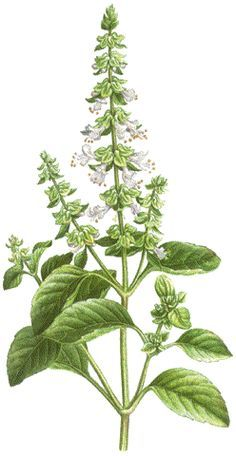 Basil is thought to ward off negative spirits and symbolizes good wishes, wealth and a happy home. Botanical Tattoo, Botanical Drawings, Botanical Prints, Tulasi Plant, Plant Leaves, Nature Drawing, Plant Drawing, Watercolor Plants, Floral Watercolor