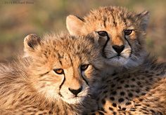 Cheetah cubs at Phinda Private Game Reserve, South Africa by Michael Moss
