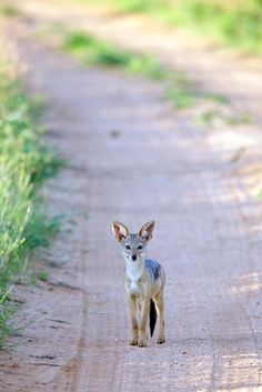 """Coyote, a common Native American """"trickster"""" god. Unlike the Norse """"trickster"""" Loki, the malicious instigator of Ragnarok, the Coyote is more commonly a teacher of practical and moral lessons."""