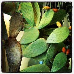 opunzia che passione! Plant Leaves